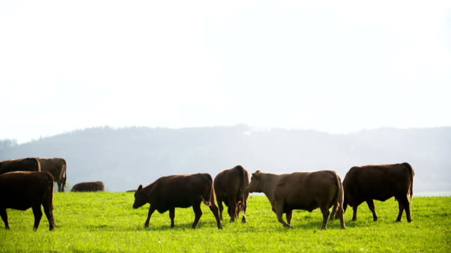Cows grazing in a valley in new zealand video