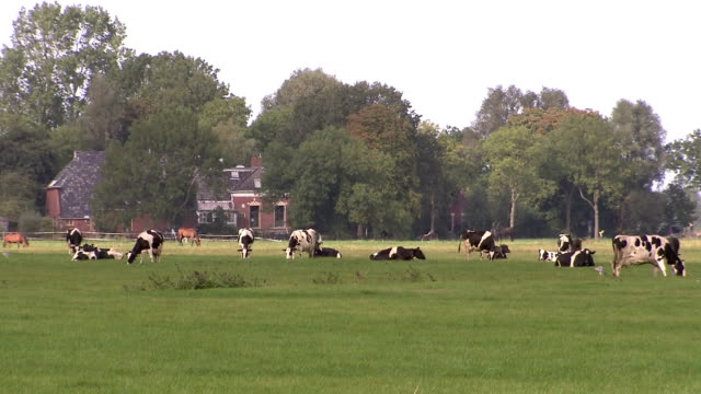 Cows grazing in meadow video