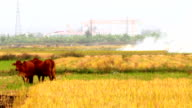cows grazing in the field video