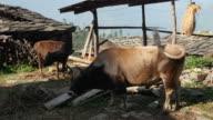 Cows grazing in the yard of an Indian village, Himachal Pradesh, Kullu Valley video