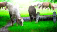 Cows Grazing on Green Meadow video