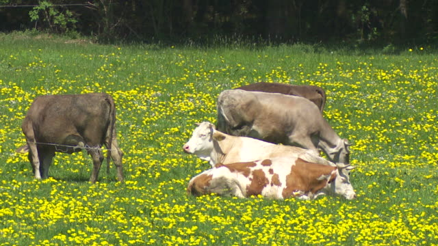 Cows Grazing On Spring Meadow video