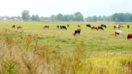 Cows grazing on the meadow. video