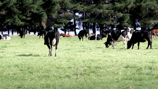 Cows Grazing video