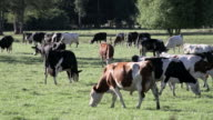cows group video