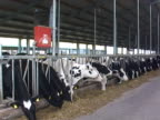 Cows In A Factory Farm video