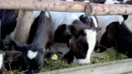 cows in a stable video