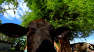 Cows in farm video