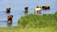 HD Cows in Marshland video