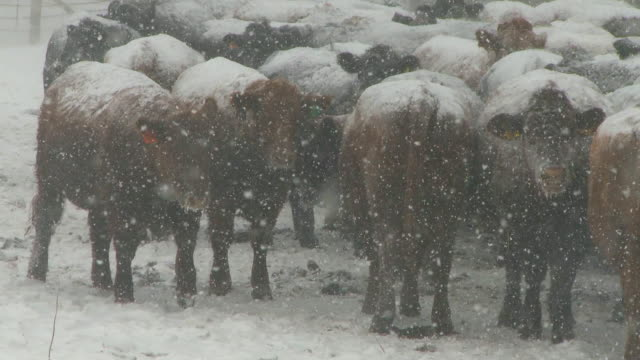Cows in snow storm video