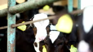 Cows In Stable On Farm video