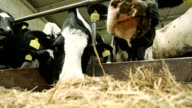 Cows in stable video
