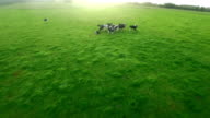 Cows in the countryside video