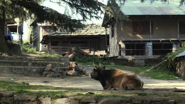 MANALI, INDIA - 28 SEPT 2016: Cows lie in the street of indian village, Himachal Pradesh, Kullu Valley video