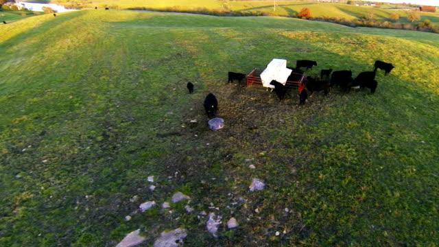 Cows on a farm video