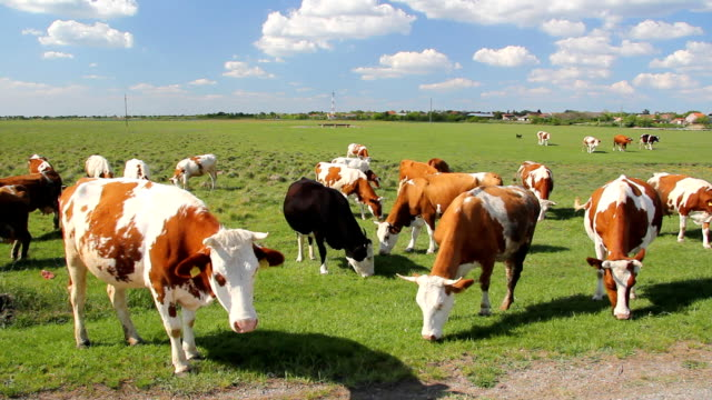 Cows on a green meadow video