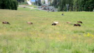 Cows on a pasture in mountains video