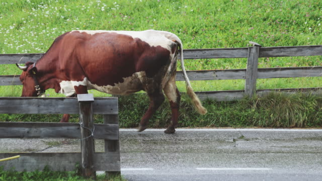 Cows on a road, walking through video