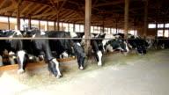 Cows on Farm video
