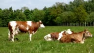 Cows on pasture video