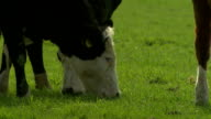 Cows on the field video