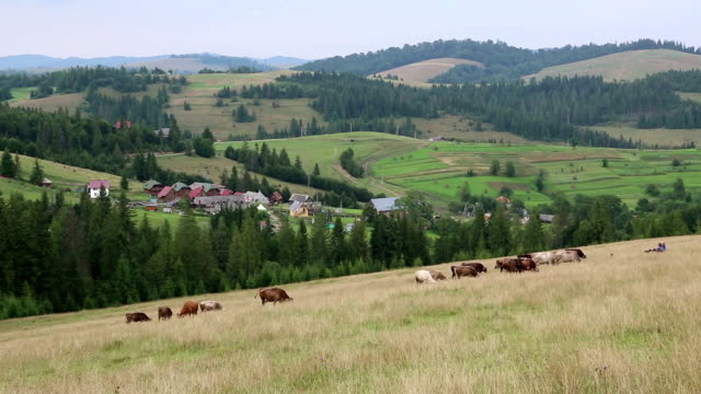 Cows on the grassland in Carpatians, Ukraine video