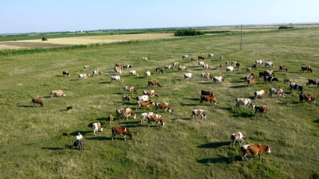 cows on the grassy field video