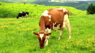 Cows on the meadow in Luxembourg. video