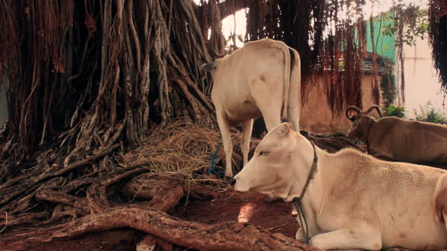 Cows rest by a banyan tree in India. video