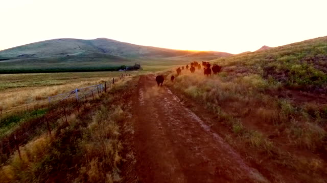 Cows Running Farm With Mountains Sun Set Wild Life Animals Aerial View Wide Angle video
