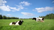 HD: Cows - Stock Video video