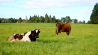 Cows video