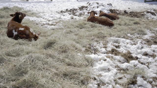 cows winter in ontario 4K video video