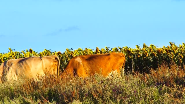 Cows with sunflowers video