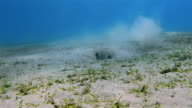 Cowtail stingray on seagrass bed on Red Sea video