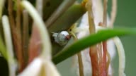 crab flower spider and its mate hidden under the plant video