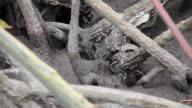 Crab in mangrove forest. video
