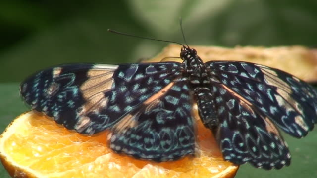 Cracker butterfly - Hamadryas amphinome video