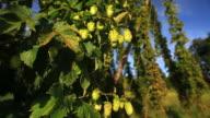 HD Crane: Hop Garden Close-up video