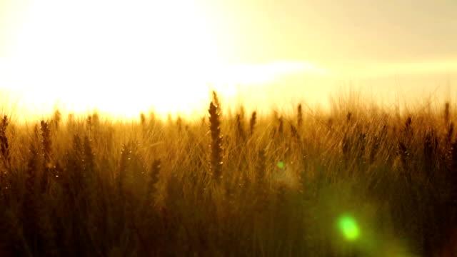 crane shot close in wheatfield backlight video