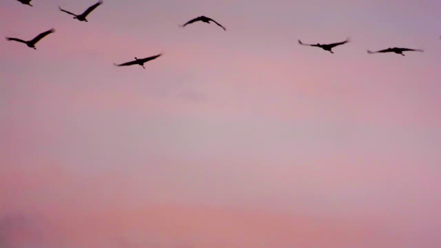 Cranes flying in an Autumn sunset video