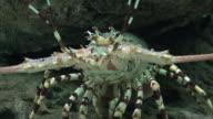 Crayfish And Marine Animals video
