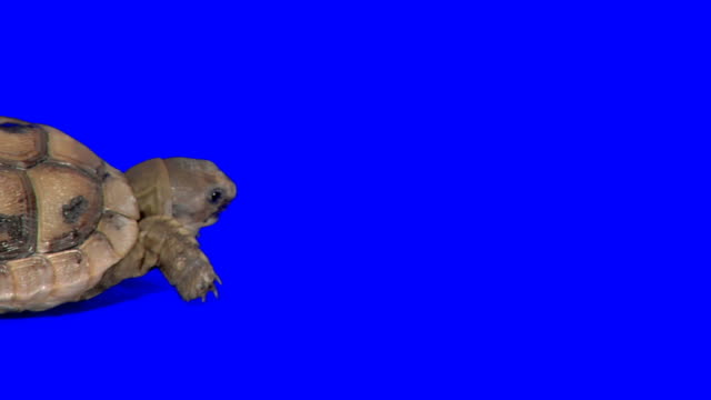 Creeping turtle on blue background video