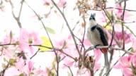 Crested Bulbul on a Bauhinia Tree video