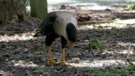 Crested Caracara Walks on the Ground Looking for Food video