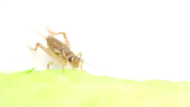 HD cricket eating macro video
