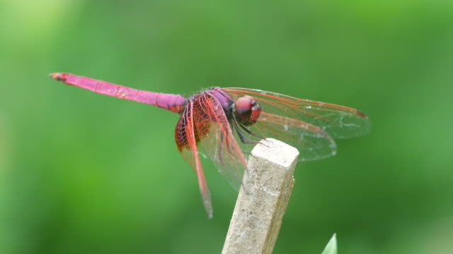 Crimson marsh glider dragonfly resting on the woody pole video