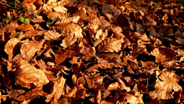 Crisp Fall Leaves Blowing Around In The Wind video