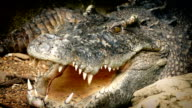 Crocodile Breathing With Mouth Open video
