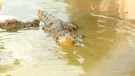 crocodile eating chicken video